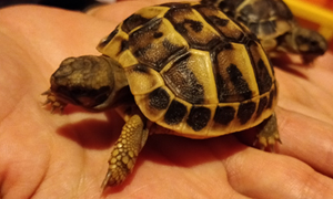 Alimentation des tortues terrestres